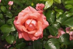 Rosa rossa nel giardino di estate Immagini Stock