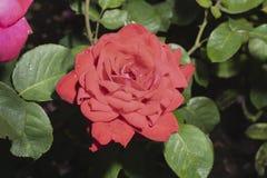 Rosa rossa nel giardino di estate Immagini Stock Libere da Diritti