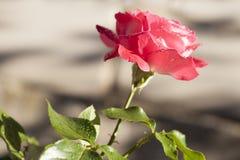 Rosa rossa nel giardino sopra naturale Immagine Stock