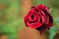 Rosa rossa nell'ambito di luce solare calda Immagini Stock