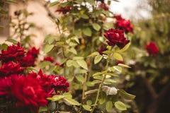Rosa rossa nell'iarda per il giorno di S. Valentino fotografia stock libera da diritti