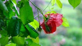 Rosa rossa nella pioggia che gocciola Il movimento della macchina fotografica e cambia la distanza focale video d archivio