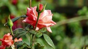 Rosa rossa nella pioggia Foglie nelle gocce archivi video