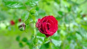 Rosa rossa nelle gocce di rugiada Cambiamento della lunghezza focale video d archivio