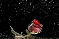 Rosa rossa nelle gocce di rugiada su un fondo nero Immagine Stock