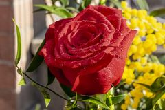 Rosa rossa per il giorno delle donne immagine stock libera da diritti