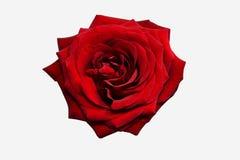 Rosa rossa per la decorazione Fotografia Stock Libera da Diritti