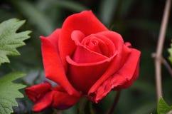 Rosa rossa in primavera Fotografia Stock