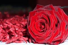 Rosa rossa - Rosa a memoria Fotografia Stock Libera da Diritti