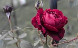 Rosa rossa selvatica di amore e di affetto Fotografie Stock Libere da Diritti