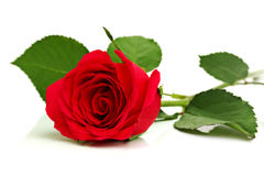 Rosa rossa su bianco Fotografia Stock Libera da Diritti