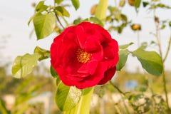Rosa rossa su luce gialla molle del tramonto Immagini Stock Libere da Diritti