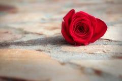 Rosa rossa su terra di pietra Immagine Stock Libera da Diritti