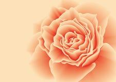 Rosa rossa su un fondo rosa Fotografia Stock