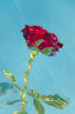 Rosa rossa subacquea Immagini Stock Libere da Diritti