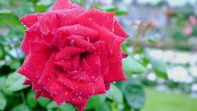 Rosa rossa sui precedenti del parco Primo piano Cambiamento della lunghezza focale stock footage