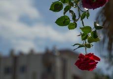 Rosa rossa sul fondo del cielo blu Immagini Stock Libere da Diritti