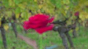 Rosa rossa sul fondo delle vigne video d archivio
