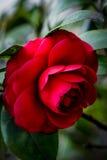 Rosa rossa sull'albero nel fondo vago Immagine Stock