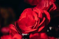 Rosa rossa vistosa che fiorisce nel fondo isolato Immagine Stock