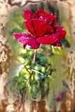 Rosa rossa viva con le gocce di rugiada sui petali Fotografie Stock Libere da Diritti