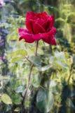 Rosa rossa viva con le gocce di rugiada sui petali Fotografie Stock