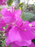 Rosa rosso-chiaro nel mio albero del giardino è il migliore fiore in India immagini stock libere da diritti