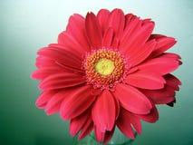 Rosa-rosso con la fine concentrare gialla del Gerbera in su Immagine Stock