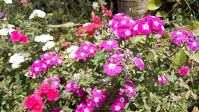 Rosa, rote und weiße Blumen Stockbild