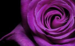 Rosa roxa Imagem de Stock Royalty Free