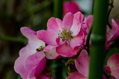 Rosa Rosa Rubiginosa-Blumen Lizenzfreies Stockfoto