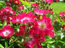 Rosa rubiginosa bush Stock Image