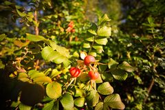 Rosa rubiginosa hips Stock Photos