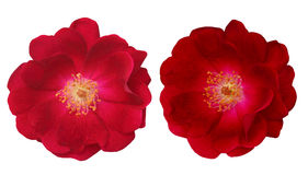 Rosa Rubiginosa Royalty Free Stock Photography