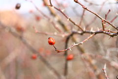 Rosa rubiginosa. Wild rose berries on a tree with natural background. Rose Hips (Rosa rubiginosa Royalty Free Stock Photo