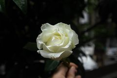 Rosa rugosa alba. White rose, angiosperm door, rose. Roses are purple and white. They are two roses and rose. Rose in plant taxonomy refers to Rosaceae rose Rosa Stock Images