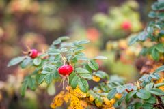 Rosa Rugosa in the fall season from close Royalty Free Stock Images