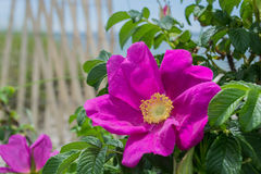 Rosa Rugosa With Fence. And ocean in background.  Taken on Cape Cod, MA Royalty Free Stock Photos