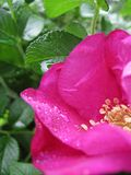 Rosa Rugosa: A Flower With an Exquisite Fragrance stock photography