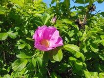 Rosa Rugosa, Flowers, Shrub, Robust Stock Photography