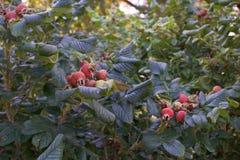 Rosa rugosa of Japanner nam installatievruchten toe royalty-vrije stock afbeeldingen