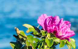 Rosa Rugosa. Pink beach rose against ocean backdrop in Newport, Rhode Island Royalty Free Stock Photo