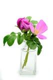 Rosa rugosa Stock Image