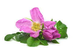 Rosa rugosa Royalty Free Stock Photo