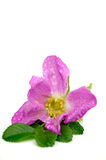 Rosa rugosa Royalty Free Stock Photography