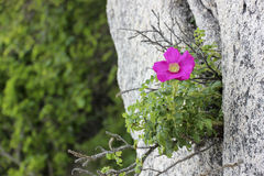 Rosa Rugosa in rocks. Rosa rugosa grows on Japan Sea coast Stock Photo
