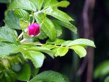 Rosa rugosa - Rose Stock Image