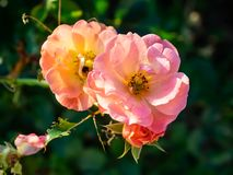 Rosa Rugosa rosor i blom royaltyfri bild