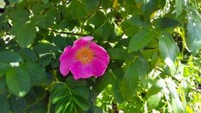 Rosa Rugose rosada Foto de archivo libre de regalías