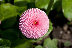 Rosa runde Blume Lizenzfreie Stockfotografie